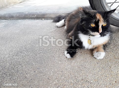 Persian Calico cat  with Three colored fur lying on concrete floor, The lonely face and eyes of pet