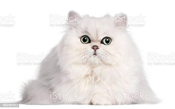 Persian cat 2 years old in front of white background picture id450487017?b=1&k=6&m=450487017&s=612x612&h=tvfpzjagdtlg8qvjdk4p7p0lxm9nrmd4pnaxmeozosa=