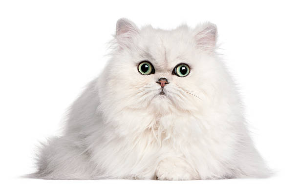 Persian cat 2 years old in front of white background picture id450487017?b=1&k=6&m=450487017&s=612x612&w=0&h=4 hr2n88opmtdqo4nagcifm k4w2 8bmck65sme47rs=