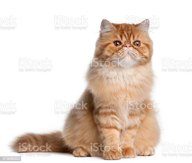 Persian cat 5 months old sitting picture id510066932?b=1&k=6&m=510066932&s=612x612&h=zwf2p4rned15vcbsh upllfgkcuytn8ybkmxvgx8v0e=