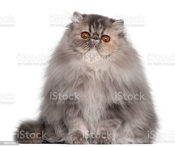 Persian cat 8 months old sitting in front of white picture id168819911?b=1&k=6&m=168819911&s=612x612&h=uoej79wvvgoxtsmped7f6pibfxx40njndnqi0d46ffy=