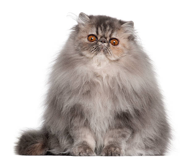 Persian cat 8 months old sitting in front of white picture id168819911?b=1&k=6&m=168819911&s=612x612&w=0&h=7by6 cdrxk bq7ains2aars qmie6  2 qpcor5 wb4=
