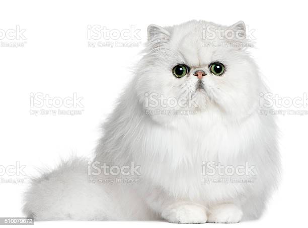 Persian cat 8 months old sitting picture id510079672?b=1&k=6&m=510079672&s=612x612&h=8y2sef 75hoibpu xd  p uif1 q zyelr0c4xnecd0=