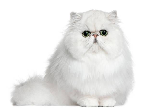 Persian cat 8 months old sitting picture id510079672?b=1&k=6&m=510079672&s=612x612&w=0&h=4qqbixsmo 0kfjmt03bcwipgr5prezjew1o 0feryks=