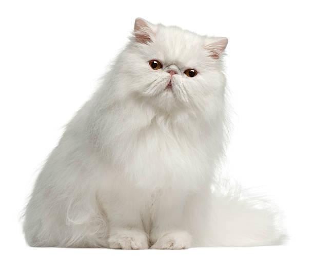 Persian cat 8 months old sitting white background picture id119838582?b=1&k=6&m=119838582&s=612x612&w=0&h=q6tejtg7yexu 7nivwkypsmyyp8kzlmduzw8wydcoyu=