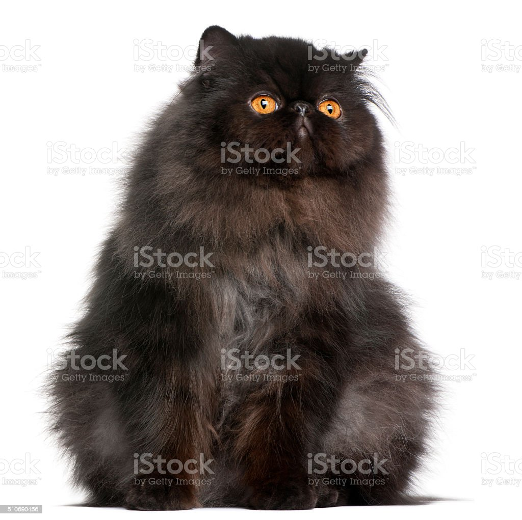 Persian cat, 9 months old, in front of white background stock photo