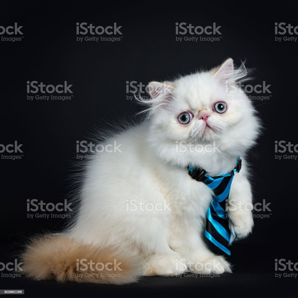 Persian cat / kitten sitting sideways isolated on black background looking straight in camera wearing a blue and black tie stock photo
