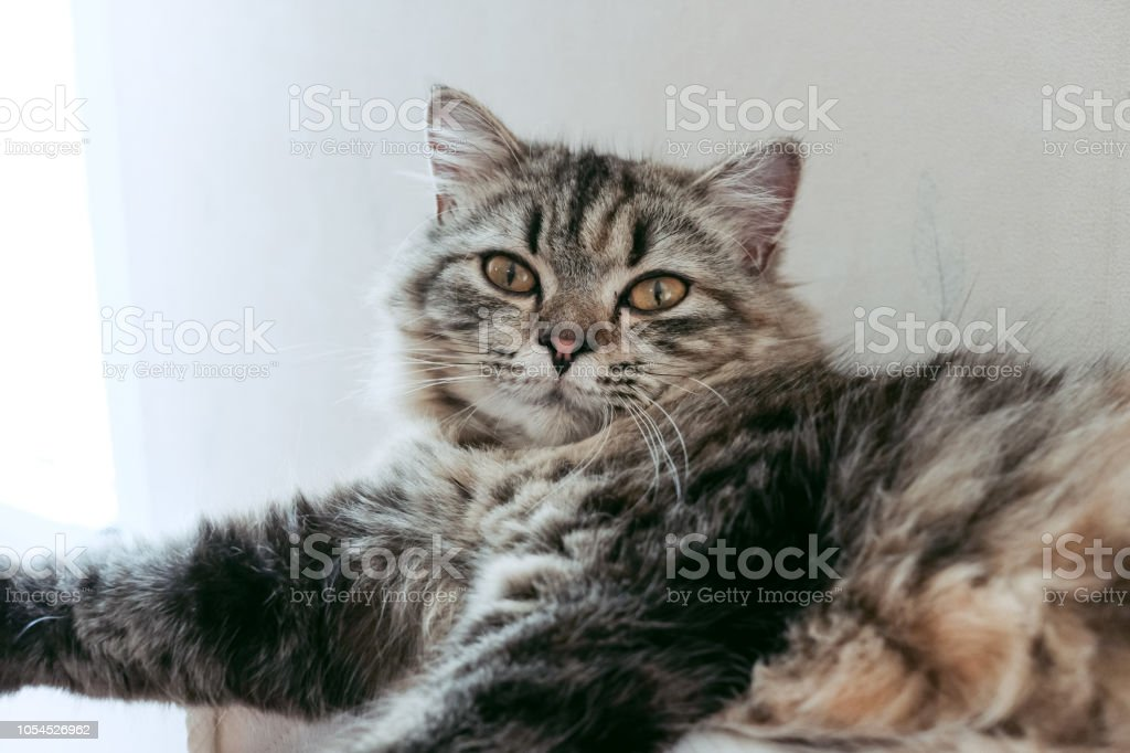 A Persian cat laying down on the bed. stock photo