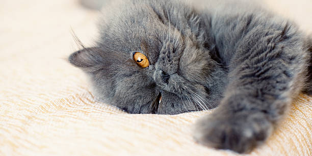 Persian cat laying in bed stock photo