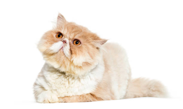 Persian cat lying in front of white background picture id1137939659?b=1&k=6&m=1137939659&s=612x612&w=0&h=zct6vgqtlkeuiobela0l9rnviud8jnhtepdmxxa6qjg=
