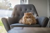 Persian cat lying on a armchar