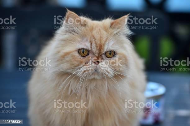 Persian cat picture id1128788334?b=1&k=6&m=1128788334&s=612x612&h=zyzuyqrxda0p5kjinep5 0p6llqco8fziat65svgito=