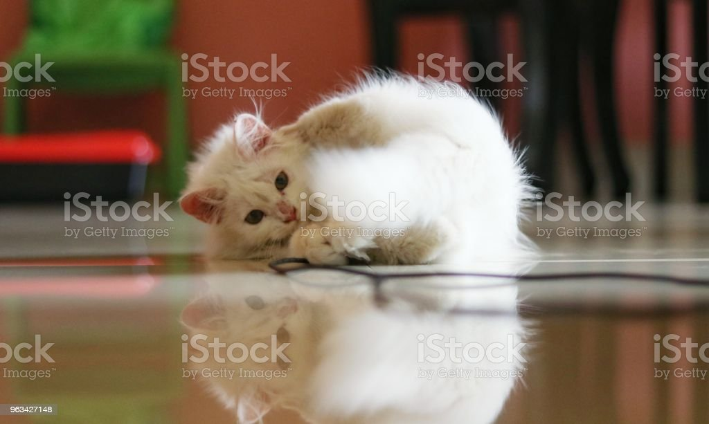 Persian cat - Zbiór zdjęć royalty-free (2015)