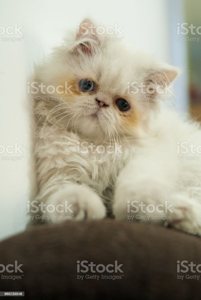 Gato Persa royalty-free stock photo