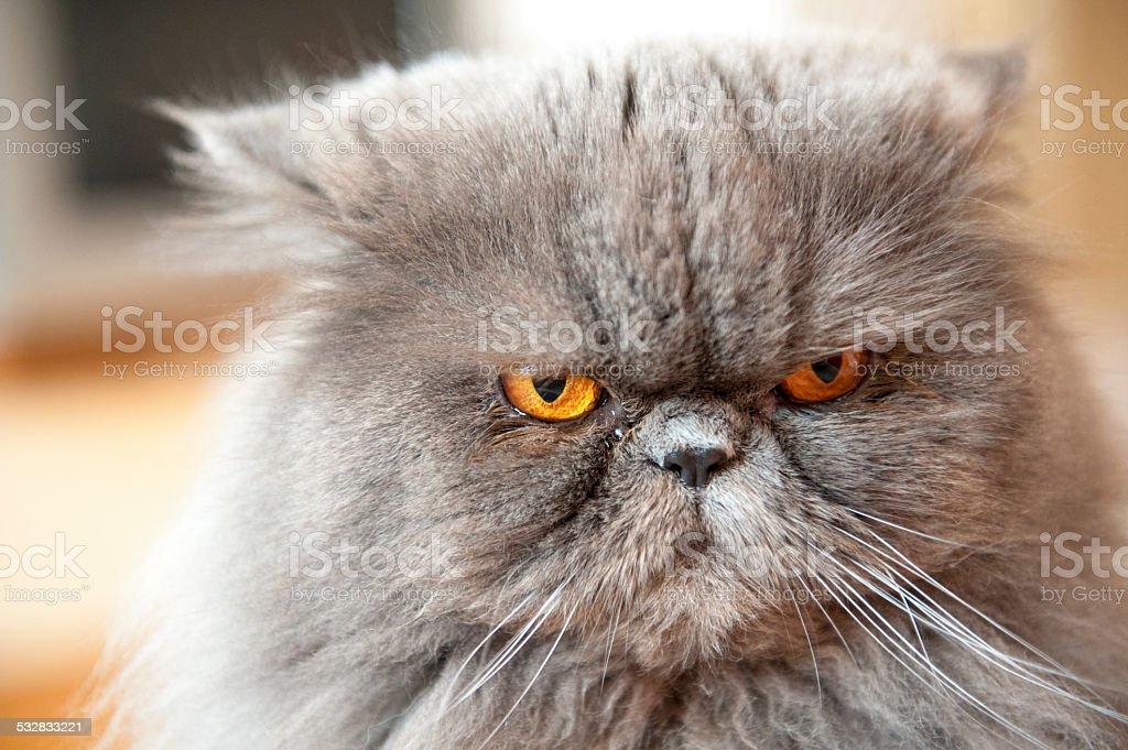 Persian cat portrait stock photo
