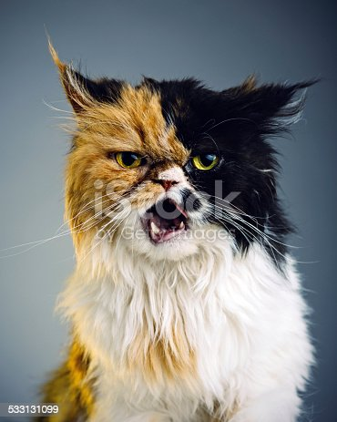 istock Persian cat portrait 533131099