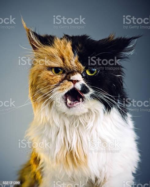 Persian cat portrait picture id533131099?b=1&k=6&m=533131099&s=612x612&h=ankwxu uicm4lhin7nfmfngf9m r40g7gzcbhsipqwa=