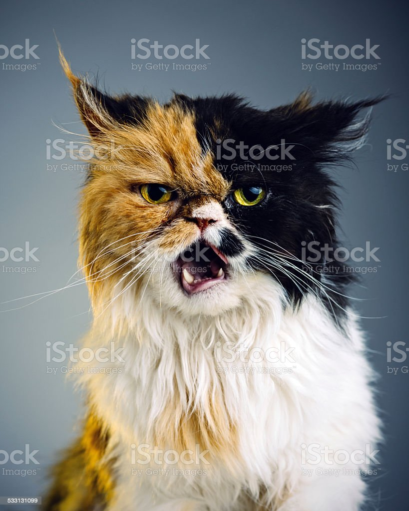 Retrato de gato persa - foto de stock