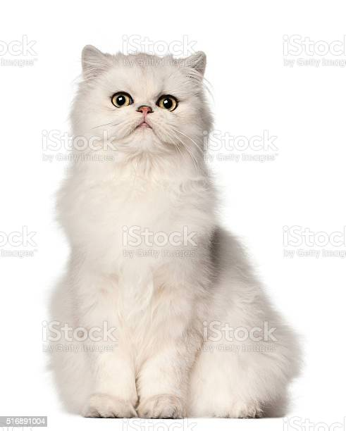 Persian cat sitting in front of white background picture id516891004?b=1&k=6&m=516891004&s=612x612&h=391bd8ysn0qaeusrwteppwthi7p4kw 0plpqnmbebnq=