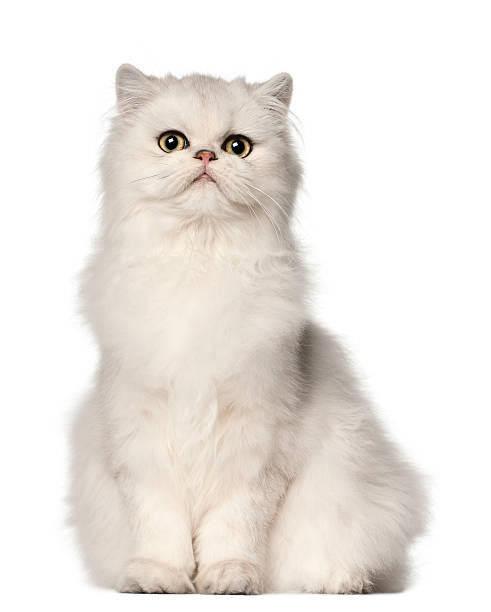 Persian cat sitting in front of white background picture id516891004?b=1&k=6&m=516891004&s=612x612&w=0&h=ht ur ylappraxldba1efwlehttq4jfkxbqlc4df7sa=