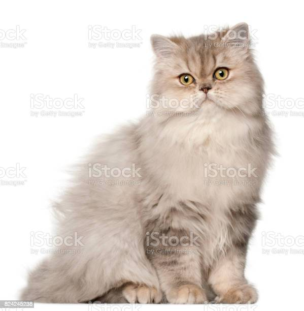 Persian cat sitting in front of white background picture id824245238?b=1&k=6&m=824245238&s=612x612&h=c5rqtss7j owugbjfnoi  7m akvy7eey8vhwwe x9s=