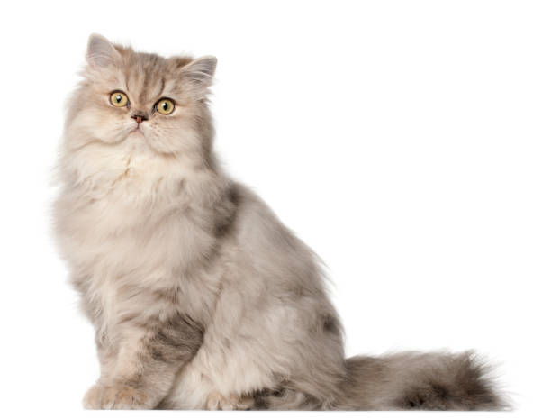Persian cat sitting in front of white background picture id824245260?b=1&k=6&m=824245260&s=612x612&w=0&h=oecpfta yxs9rxwtdbvd7buofe1puvymaxcmclvjlou=