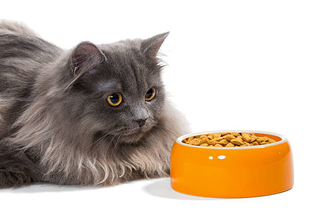 Persian cat sitting near the bowl food picture id465996724?b=1&k=6&m=465996724&s=612x612&w=0&h=2nqiphytyjedmwnkzemnvncgoijbvilc0u4cdculovc=