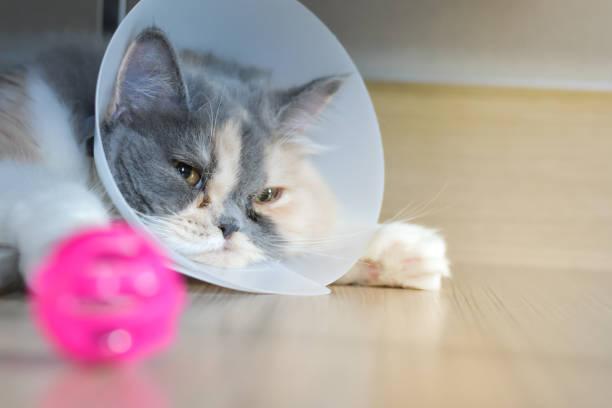 Persian cat wearing a protective collar picture id1063986882?b=1&k=6&m=1063986882&s=612x612&w=0&h=2nca jrjanf0gapwkdjwvwwlzpajj8beken0jpex vs=