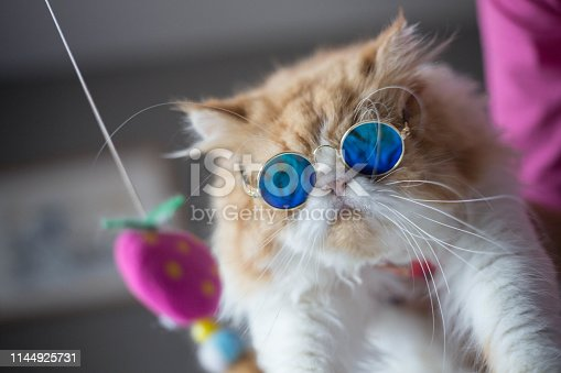 Persian Cat / Iranian Cat / Persian Longhair / Shirazi red marble and white color with funny blue sunglasses