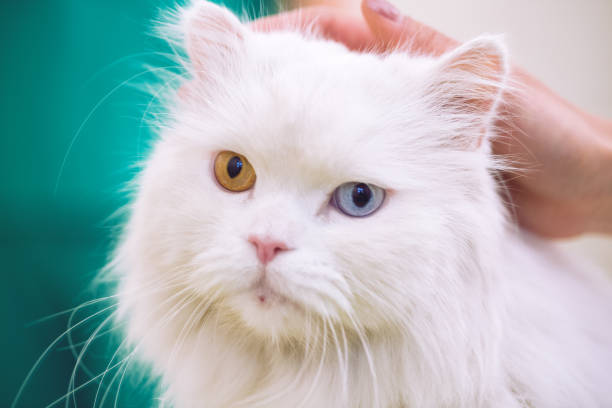 Persian cat with coloful eyes at pet ambulance picture id964312450?b=1&k=6&m=964312450&s=612x612&w=0&h=kozqhjsofemvj6qupdgyy9ukbpdgwtahr8y98uopfde=