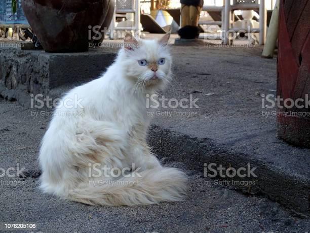 Persian cat with iceblue eyes bali picture id1076205106?b=1&k=6&m=1076205106&s=612x612&h=cskpolii2ftfmbhmqkgabq2nqgeidayy27 5yuemege=