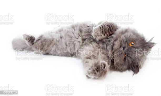 Persian cat with orange eyes laying out isolated on white picture id108273755?b=1&k=6&m=108273755&s=612x612&h= 0zxwfvoxygiubynwylyher1qswgpyomws2ujmlirjq=