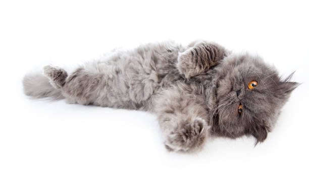 Persian Cat with Orange Eyes Laying Out, Isolated on White stock photo