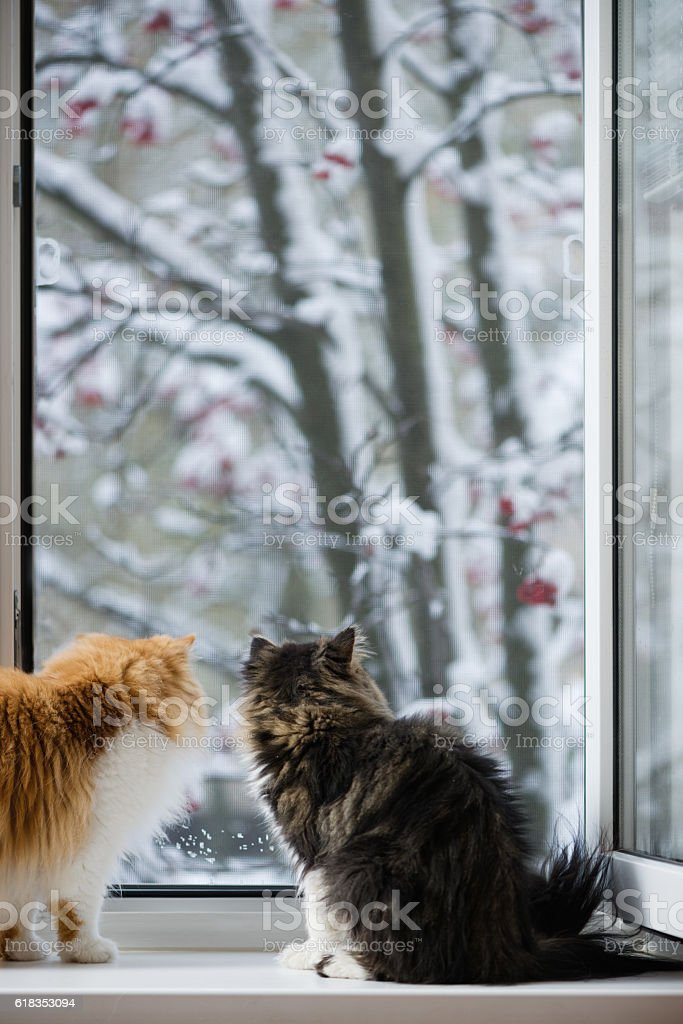 Persian cats look out of the window стоковое фото