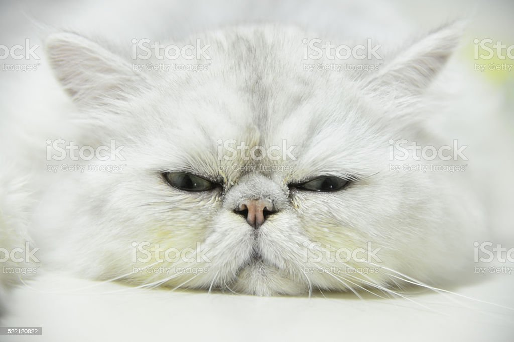 Persian chinchilla cat stock photo