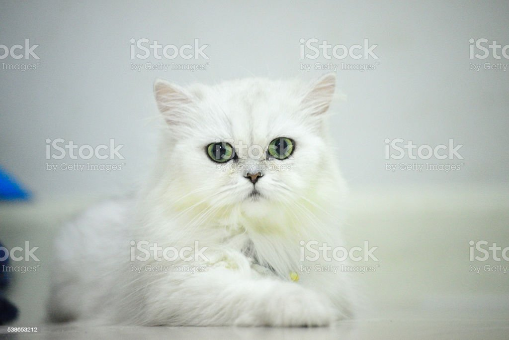 Persian chinchilla silver stock photo
