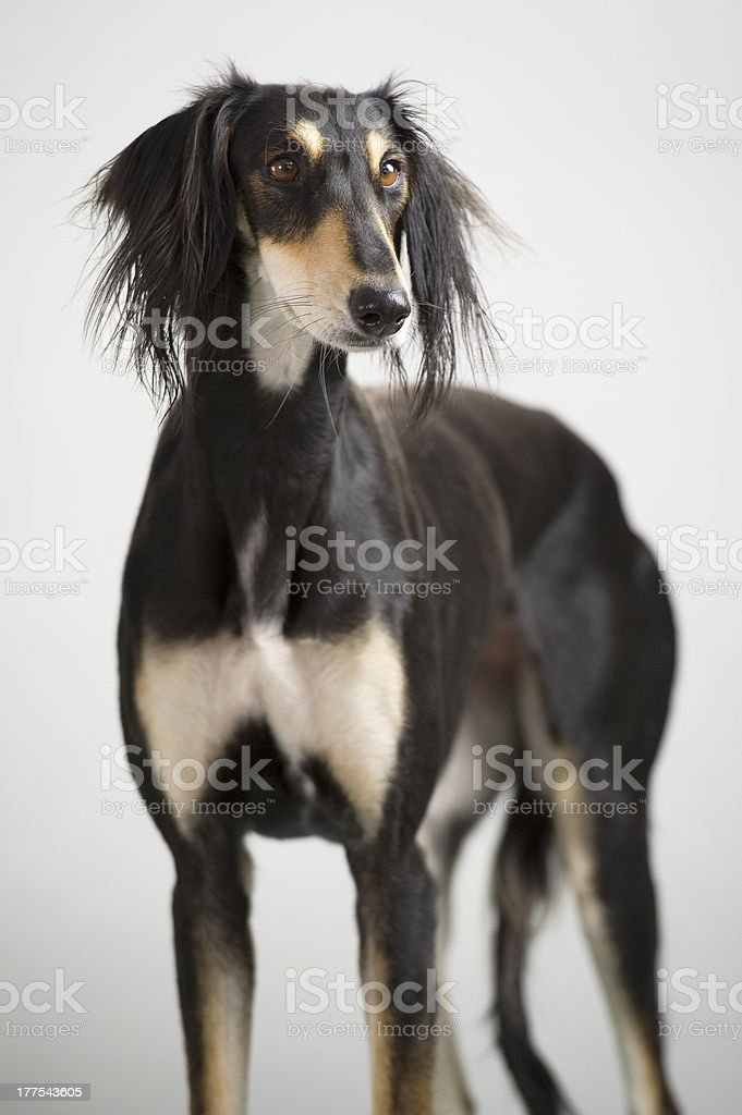 Persian greyhound, saluki breed posing stock photo