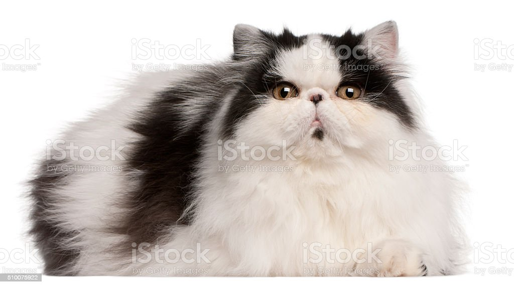 Persian Harlequin cat, 6 months old, lying stock photo