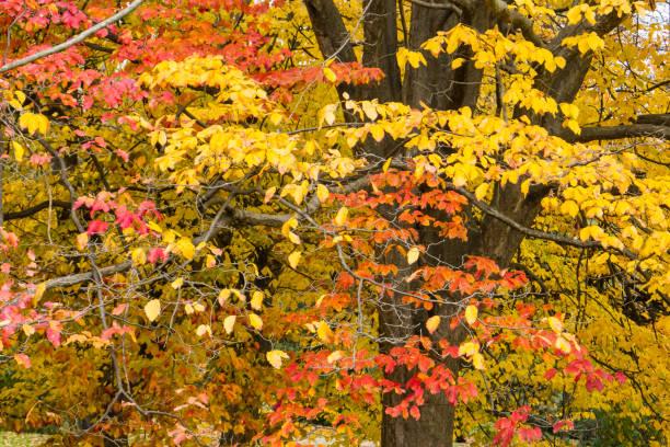 Árbol de hierro con hojas otoñales - foto de stock