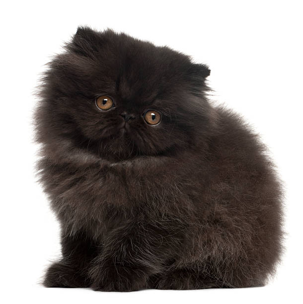Persian kitten 10 weeks old sitting picture id510074674?b=1&k=6&m=510074674&s=612x612&w=0&h=okvhtthxr3onx3vuw6cn92crb3qucavcmndgjdvdt c=