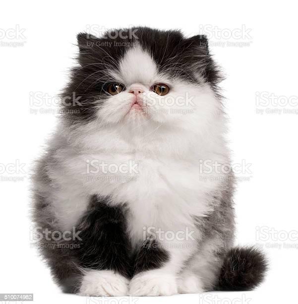 Persian kitten 10 weeks old sitting picture id510074982?b=1&k=6&m=510074982&s=612x612&h=uqdx6ksiih4rsn 5nsx8 dprun7ir7vwxnps hrtww0=