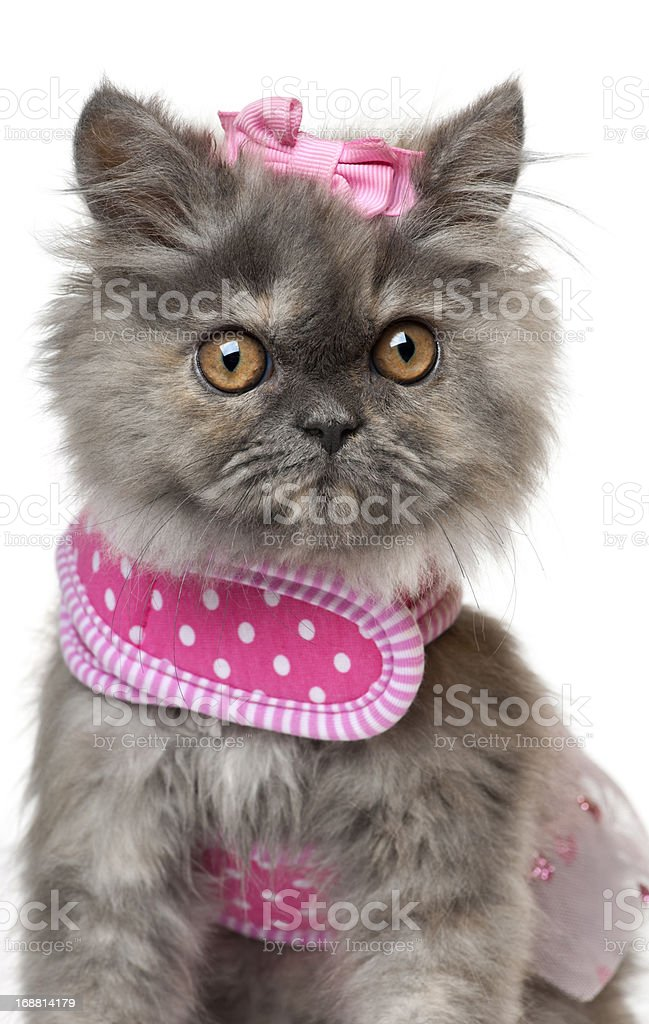 Persian kitten dressed in pink, 3 months old stock photo