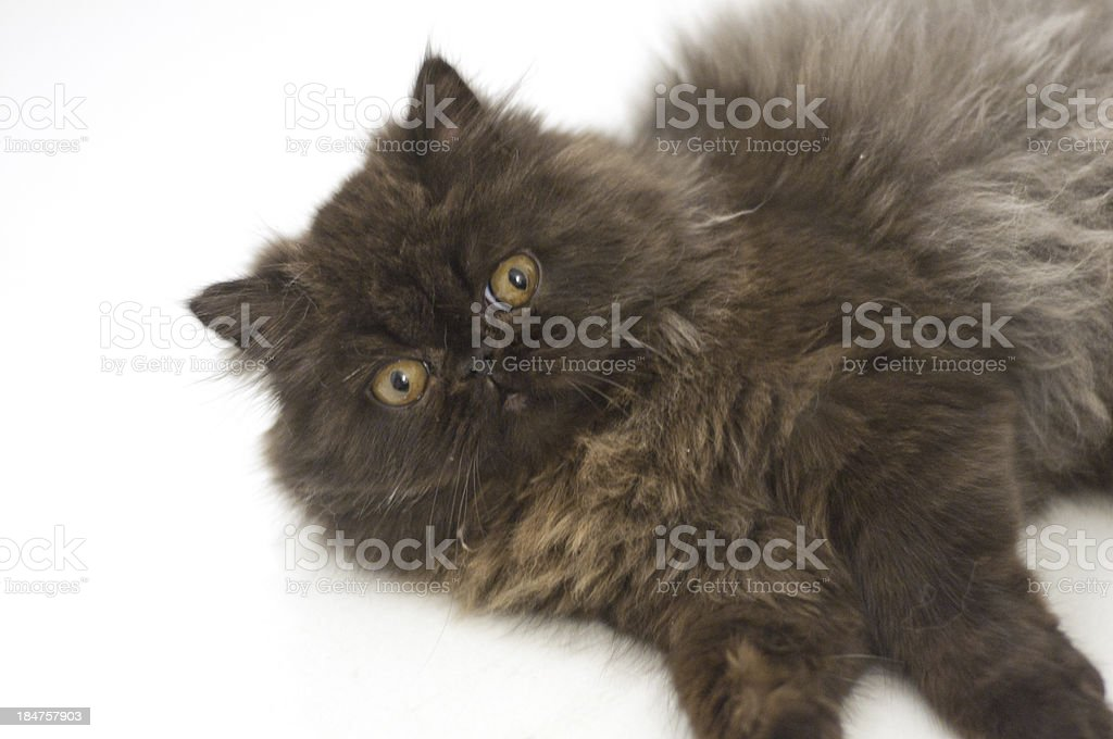 Persian kitten lying on the side royalty-free stock photo