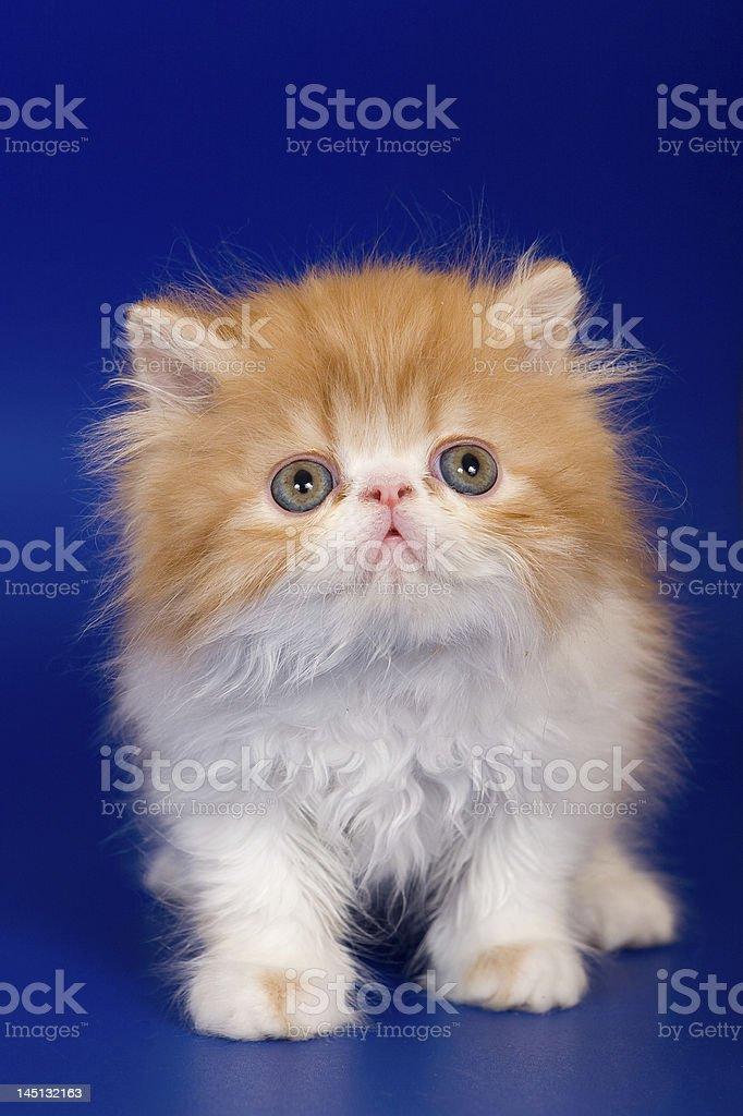 Persian kitten royalty-free stock photo