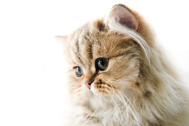Persian kitten picture id153019971?b=1&k=6&m=153019971&s=612x612&w=0&h=hqyetqm0j0wdgi6tmoavg6ennvhu5azfqa8uzpliids=