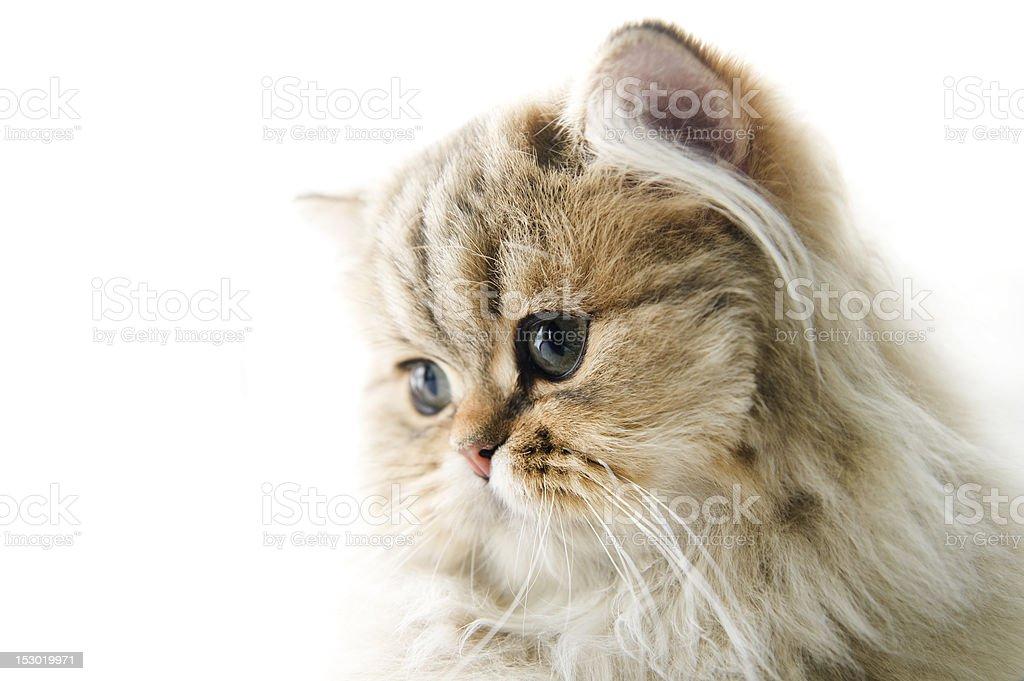 Persische Kätzchen – Foto