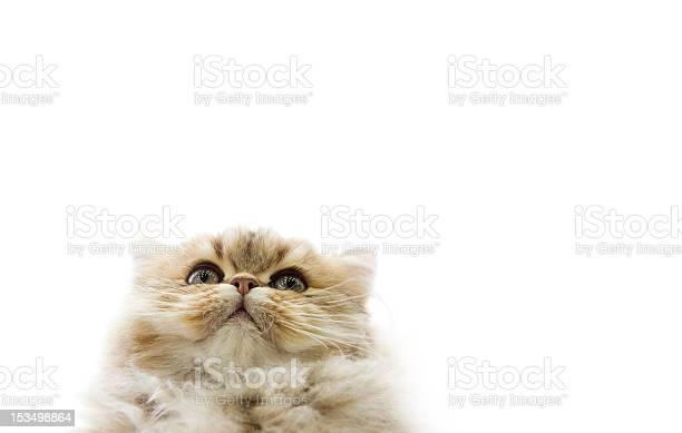Persian kitten picture id153498864?b=1&k=6&m=153498864&s=612x612&h=4tmezc5jejv9a ciu6ohxbyla ljwo 6vizzt 9wvrc=