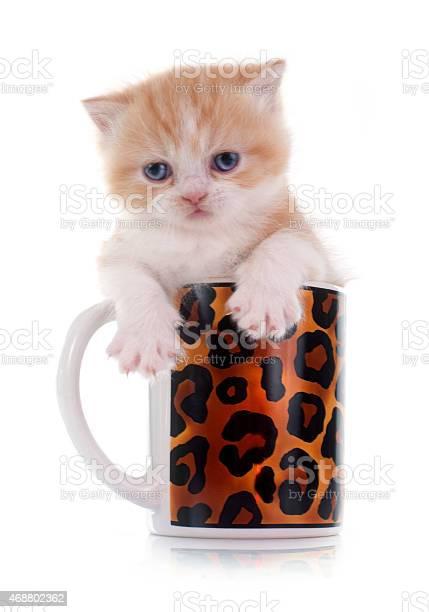 Persian kitten picture id468802362?b=1&k=6&m=468802362&s=612x612&h=fmglm6yvltqipg9q87arr8g62g75fppxvson6t1h im=
