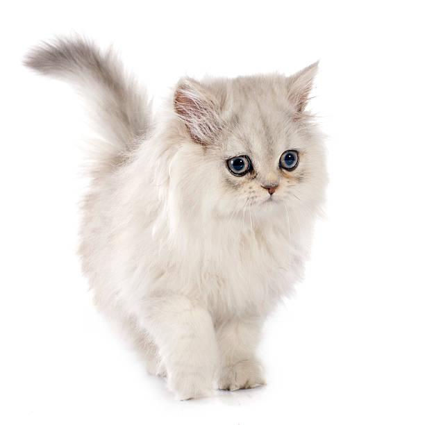 Persian kitten picture id524884247?b=1&k=6&m=524884247&s=612x612&w=0&h=m6cppat5awjie7j 9ljhxv6xw17c kjcvbeqyjwmmka=