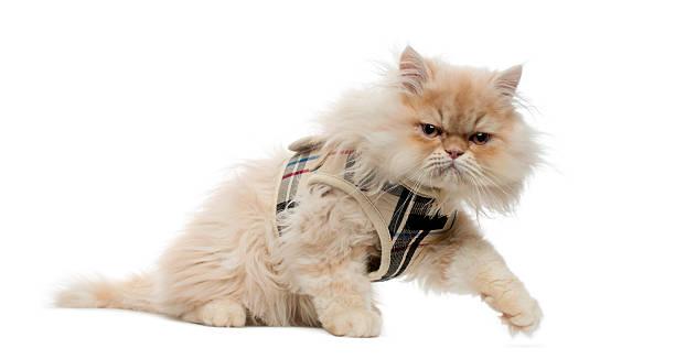 persische katze mit tartan-gurt, zu fuß erreichbar - katzengeschirr stock-fotos und bilder